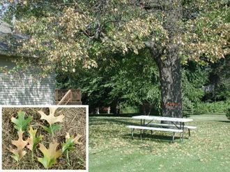 Oak wilt - Photograph of leaf and whole tree symptoms of oak wilt in a red oak tree. Joseph O'Brien, USDA Forest Service, Bugwood.org