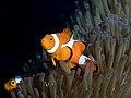 Ocellaris clownfish (Amphiprion ocellaris) (35272133494).jpg
