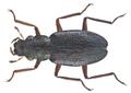 Ochthebius quadricollis Mulsant, 1844 (20296181004).png