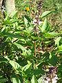 Ocimum tenuiflorumRHu1.JPG
