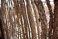 Ocotillo fencing (5301405136).jpg