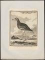 Oedicnemus crepitans - 1700-1880 - Print - Iconographia Zoologica - Special Collections University of Amsterdam - UBA01 IZ17200083.tif
