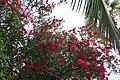 Oleander 16 2013-07-10.jpg