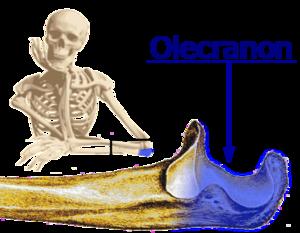 Olecranon - Image: Olecranon labeled