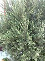 Olive Tree@Ayvalık - panoramio.jpg