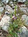 Ophrys oestrifera 2.jpg
