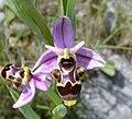 Ophrys scolopax5.jpg