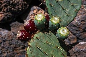 Opuntia engelmannii - Fruits of Opuntia engelmannii.