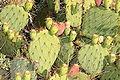 Opuntia phaeacantha var. discata.jpg