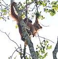 Orangutan (36132727153).jpg