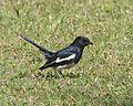 Oriental Magpie-Robin (Copsychus saularis) 690V0844 - Flickr - Lip Kee.jpg