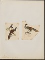 Ortalida albiventris - 1700-1880 - Print - Iconographia Zoologica - Special Collections University of Amsterdam - UBA01 IZ16900109.tif