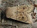 Orthosia gracilis - Powdered Quaker - Ранняя совка тёмно-серая (39266892470).jpg