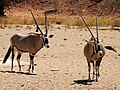 Oryx (38248655371).jpg