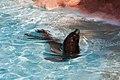 Otaria flavescens - Rancho Texas Park - Tías - Lanzarote -PC31.jpg