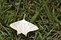 Ourapteryx yerburii virescens (35287093220).jpg