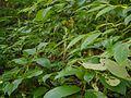 Oval-leaved Habenaria (21371976692).jpg