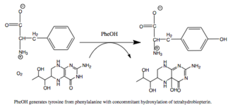 Phenylalanine hydroxylase - Reaction catalyzed by PAH