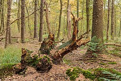 Overgrown dead tree stumps 15.jpg