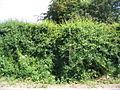 Overgrown footpath - geograph.org.uk - 185658.jpg