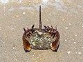 Overturned horseshoe crab on Plum Island (70116).jpg