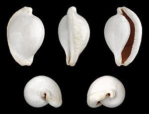 Littorinimorpha - Image: Ovula ovum 01