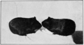 PSM V77 D431 Two young sired by a black and an albino guinea pig.png