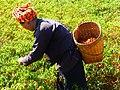 Pa-Oo woman harvesting chillies (Myanmar 2013) (11820688676).jpg