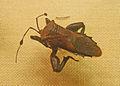Pachylis-Musée zoologique de Strasbourg.jpg