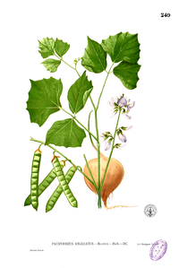 Ilustrasi botani bengkuang, menurut Blanco