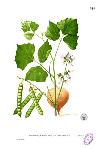 Pachyrhizus erosus - Image: Pachyrhizus erosus Blanco 2.249