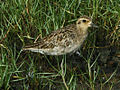 Pacific Golden Plover RWD.jpg