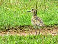 Pacific Golden Plover from Kerala.jpg