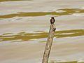 Pacific Swallow (Hirundo tahitica) (8067587272).jpg