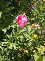 Paeonia arietina 02.jpg