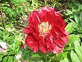 Paeonia lactiflora02.jpg