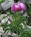 Paeonia officinalis RF.jpg