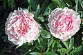 Paeonia sp. (Newark, Ohio, USA) 6 (49045171086).jpg