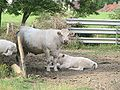 Pagny le Château vaches.jpg