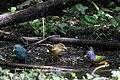 Painted Bunting, Worm-eating Warbler, Tennessee Warbler, Indigo Bunting (bathing) Boy Scout Woods High Island TX 2018-04-11 12-40-03 (27932451808).jpg