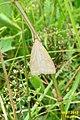 Pale straw pearl (NH) (7836877544).jpg