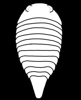 <i>Paleomerus</i>