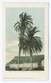 Palms, San Diego, Calif (NYPL b12647398-62650).tiff
