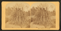 Pampas grass. Florida, from Robert N. Dennis collection of stereoscopic views.png