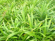 Pandan (screwpine) leaves.JPG
