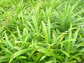 Description de l'image Pandan (screwpine) leaves.JPG.