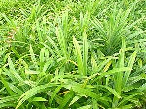 Pandanus amaryllifolius - Image: Pandan (screwpine) leaves