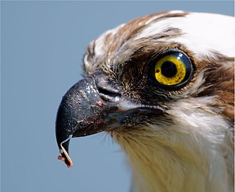 Osprey - Californian bird with scraps of fish on its beak