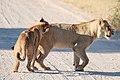Panthera leo 1M2A5586 (31035992347).jpg