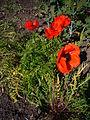 Papaver bracteatum 2007-06-02 (plant).jpg